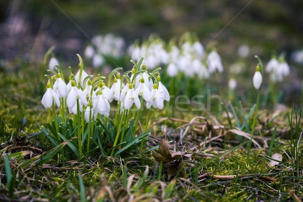 świeże pierwszy shot wiosną Zdjęcia stock © Taigi