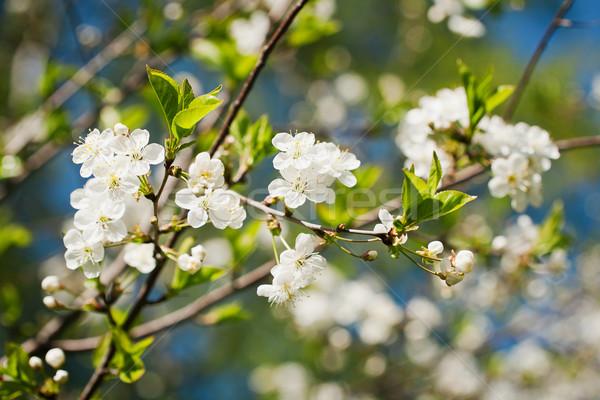 Beautiful spring blossoming apple tree  Stock photo © Taigi