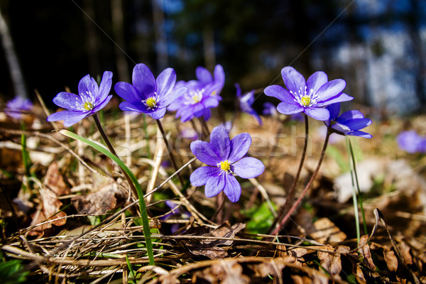 First fresh blue violets in the forest Stock photo © Taigi