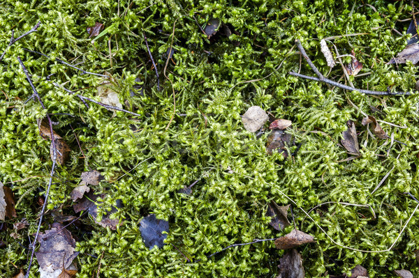 Starych pozostawia mech zielone miękkie lasu Zdjęcia stock © Taigi