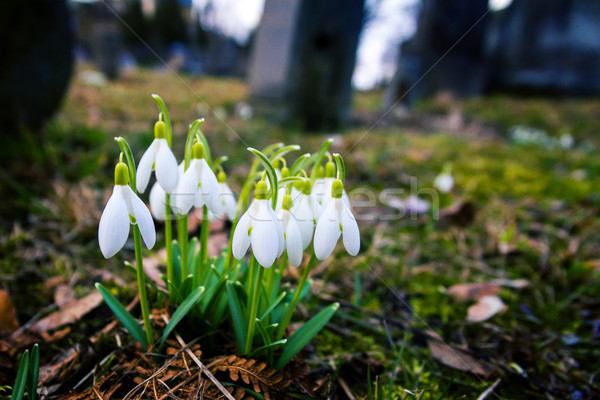Stock photo: Fresh first snowdrops blooming