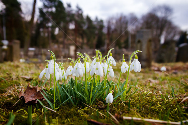 Fresh first snowdrops blooming Stock photo © Taigi