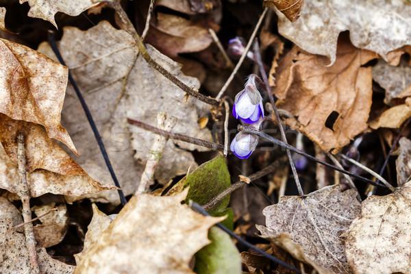 Első friss kék ibolya erdő tavasz Stock fotó © Taigi