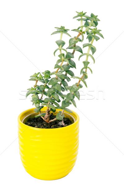 Kicsi friss zöld nedvdús kicsi citromsárga Stock fotó © Taigi