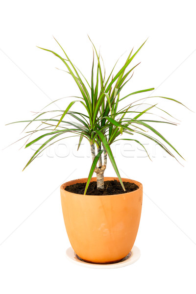 Dracaena marginata in a pot Stock photo © Taigi
