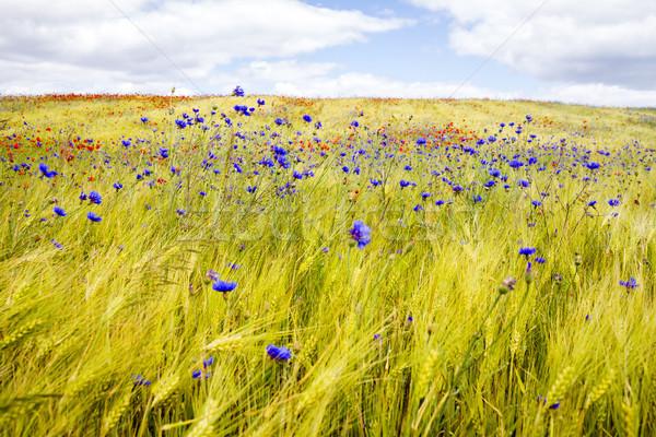 Chaber żyto dziedzinie maku słoneczny Zdjęcia stock © Taigi