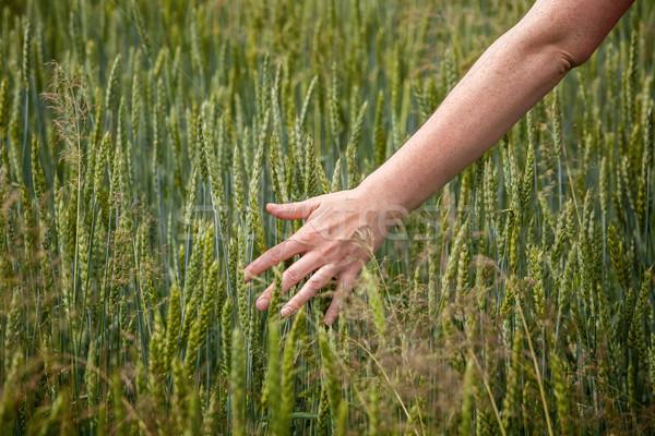 Hand over wheat Stock photo © Taigi