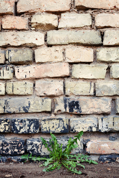 Brick wall and dandelion Stock photo © Taigi