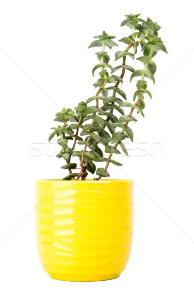 Küçük taze yeşil etli küçük sarı Stok fotoğraf © Taigi