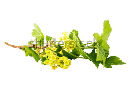 Black currant branch with blossoms Stock photo © Taigi