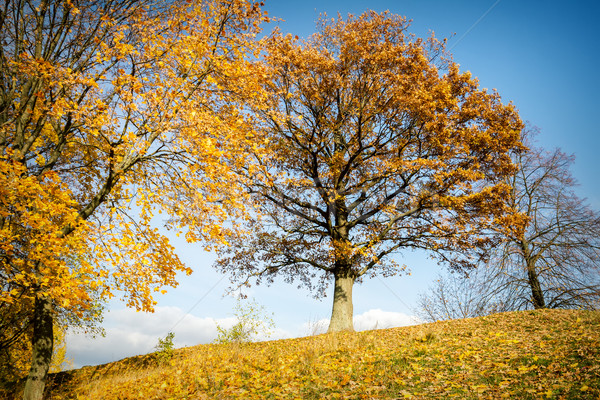 Beautiful autumn oak tree Stock photo © Taigi