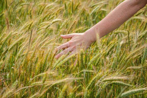 Kéz rozs női mező friss lány Stock fotó © Taigi