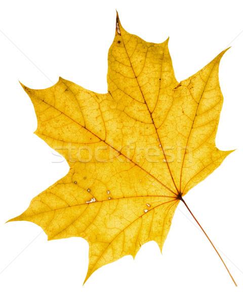 красивой Maple Leaf высушите изолированный белый Сток-фото © Taigi