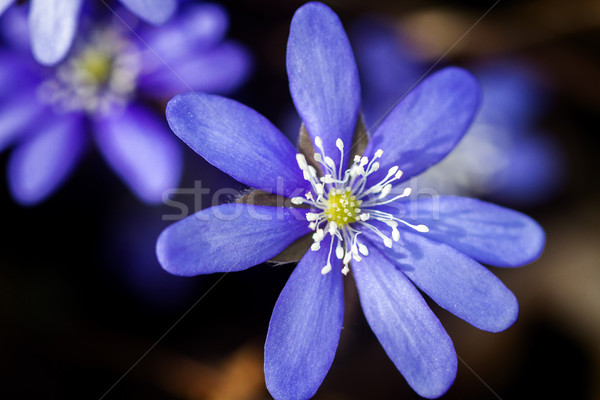 First fresh blue violet in the forest Stock photo © Taigi