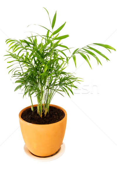 Chrysalidocarpus lutescens palm tree Stock photo © Taigi