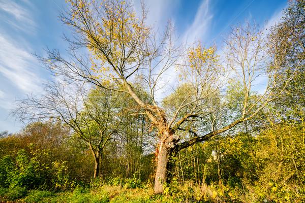 Gyönyörű öreg ősz fa napos nap Stock fotó © Taigi