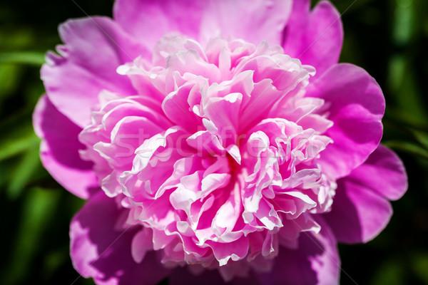 Foto stock: Rosa · flor · primavera · verão · dom · cabeça
