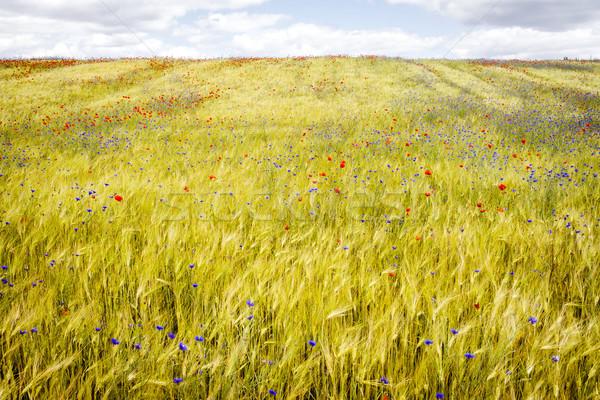 Amapolas centeno campo soleado verano Foto stock © Taigi