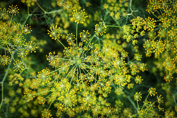 Blooming dill background Stock photo © Taigi