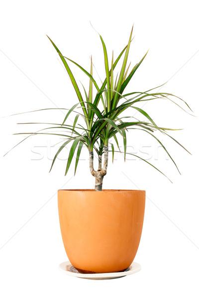 Stock photo: Dracaena marginata in a pot