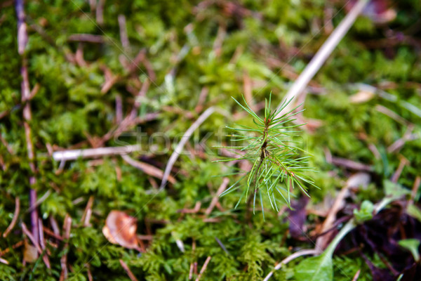 Young pines sapling tree sprout in forest Stock photo © Taigi