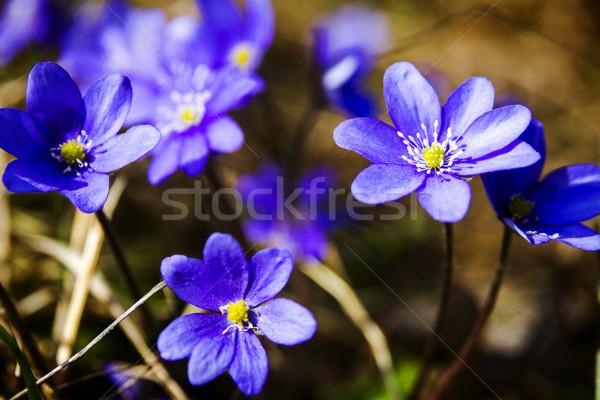 Első friss kék erdő tavasz vadvirág Stock fotó © Taigi