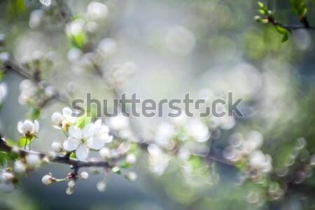 Gyönyörű tavasz virágzó szilva fa puha Stock fotó © Taigi