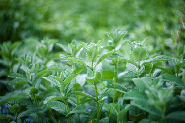 Fresh mint leaves Stock photo © Taigi