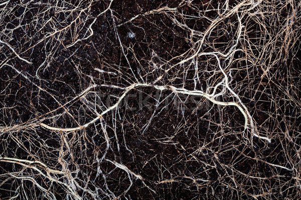 Roots in a soil Stock photo © Taigi