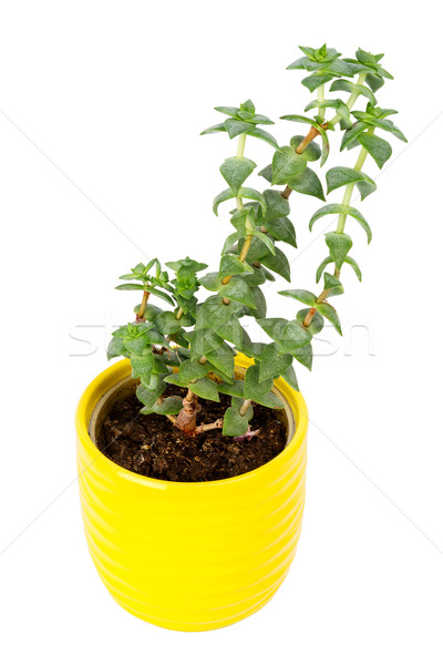 Small fresh green succulent in a little yellow pot Stock photo © Taigi