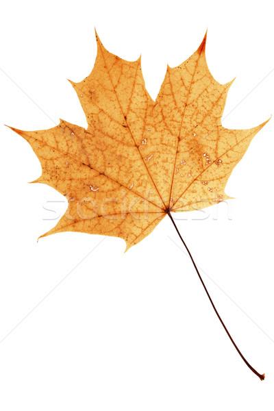 Belo dourado maple leaf secar isolado branco Foto stock © Taigi