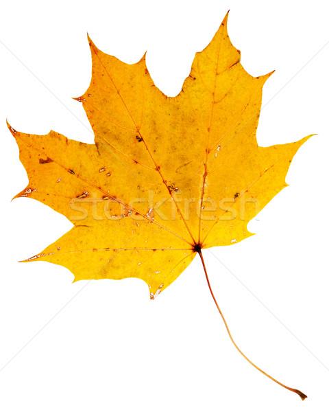 Güzel altın akçaağaç yaprağı kuru yalıtılmış beyaz Stok fotoğraf © Taigi