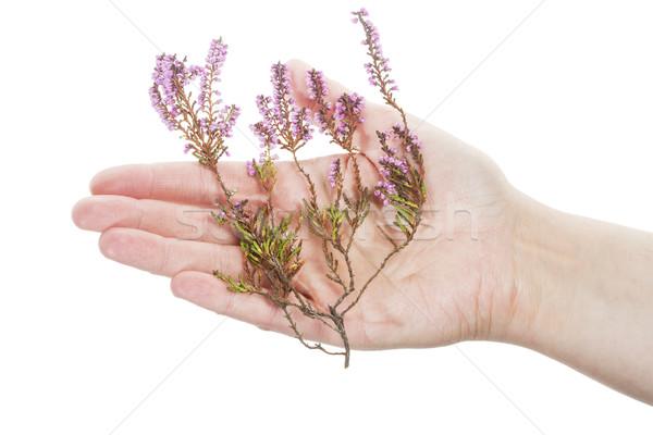 Hand holding dry heather Stock photo © Taigi