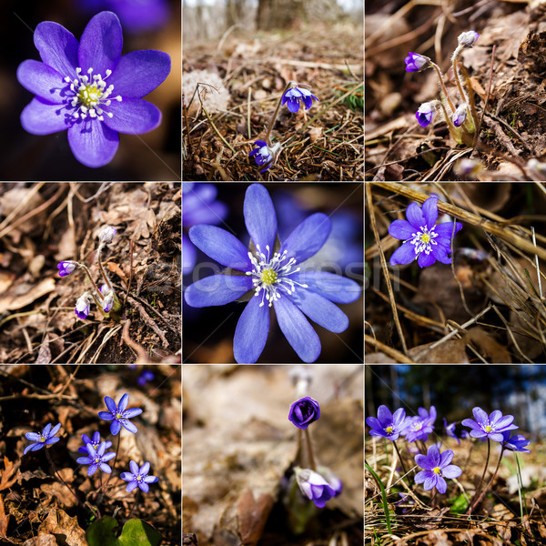 Collection of images with first fresh blue violet in the forest Stock photo © Taigi