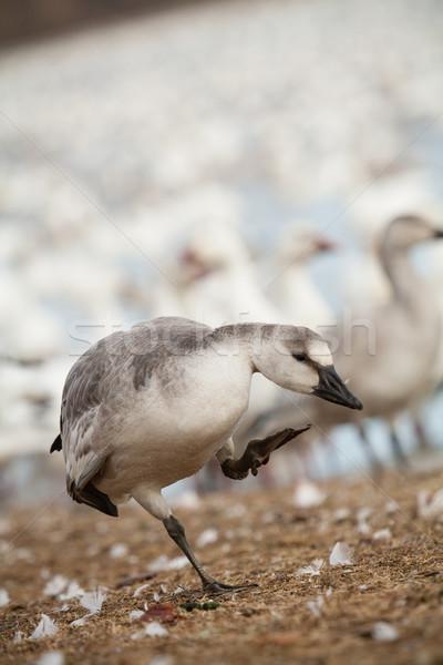 снега гусь птица гусей Канада Сток-фото © Talanis
