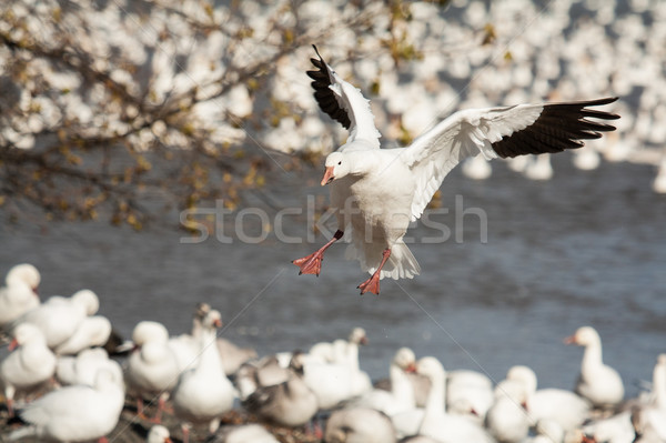 Landing snow goose Stock photo © Talanis
