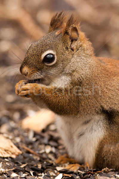 American red squirrel Stock photo © Talanis