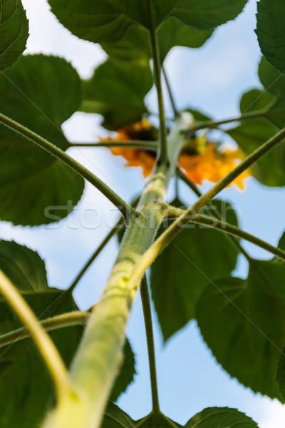 Flor girassol ver abaixo blue sky grande Foto stock © TanaCh