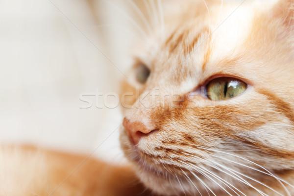 Kırmızı kedi büyük portre kafa güneş Stok fotoğraf © TanaCh