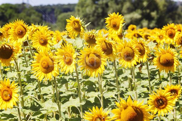 Huis centrum zonnebloemen landschap hemel boom Stockfoto © TanaCh