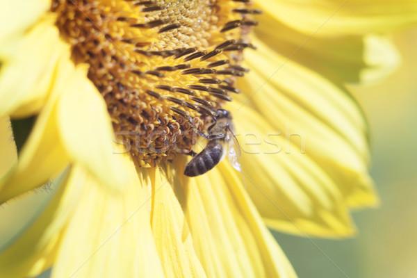 Méh nektár napraforgó virág narancs elmosódott Stock fotó © TanaCh