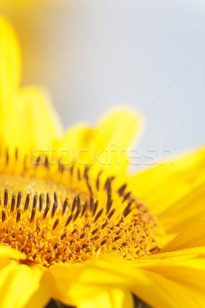 Abelha néctar girassol flor laranja turva Foto stock © TanaCh