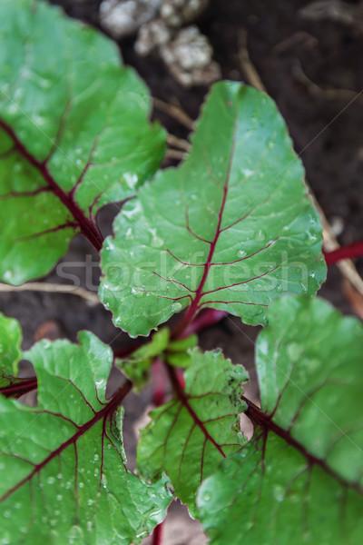 Vers bieten spinazie planten plantaardige tuin Stockfoto © TanaCh
