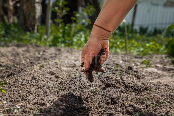 The hand of an elderly woman pours the earth on sowing. The conc Stock photo © TanaCh