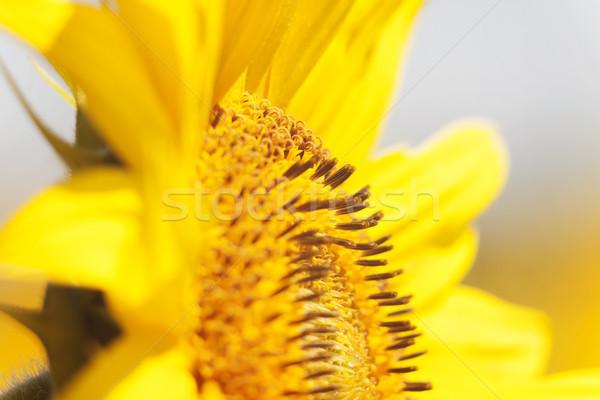 Arı nektar ayçiçeği çiçek turuncu bulanık Stok fotoğraf © TanaCh