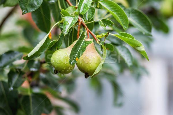 Branche beaucoup poires pluie eau Photo stock © TanaCh