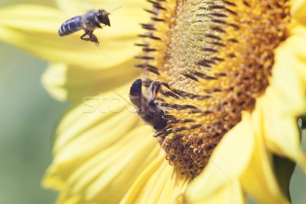 Stok fotoğraf: Arı · nektar · ayçiçeği · çiçek · turuncu · bulanık