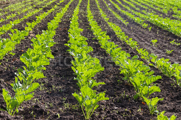 Groot veld jonge voedsel gras Stockfoto © TanaCh