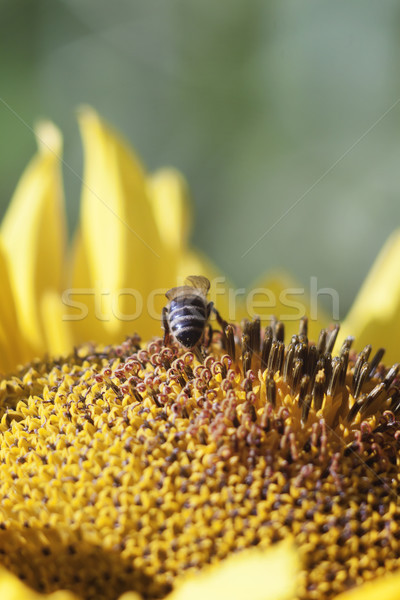 Bee collects nectar from a sunflower flower on orange blurred ba Stock photo © TanaCh