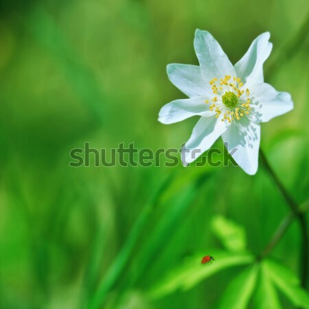 anemone and ladybird Stock photo © tanais